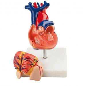 Herz - und Kreislaufmodelle