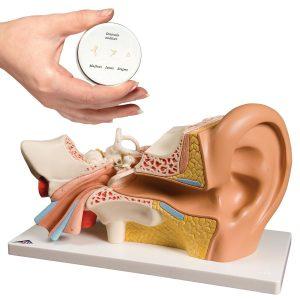 Hals, Nase und Ohrenmodelle