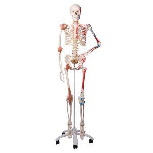 Menschliche Skelettmodelle