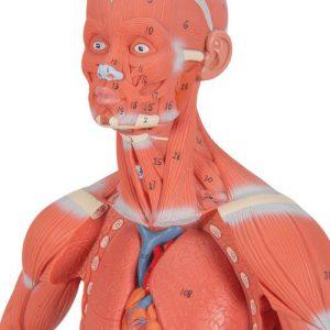 Muskelmodelle