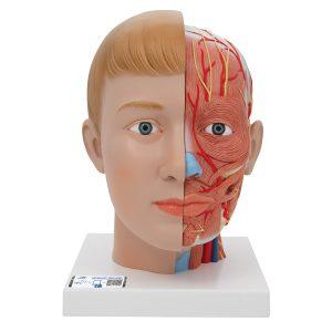 Kopfmodelle