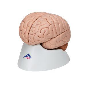 Gehirnmodelle